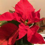 ミニポインセチアがワンコイン!インテリアグリーンでクリスマスを楽しもう♪