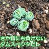 越冬できる多肉植物、セダムスペクタビレが話題沸騰!キャベツみたいな新芽がかわいい