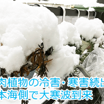 新潟では電車が立ち往生する大寒波!衣装ケースの多肉植物は寒さに耐えられたのか?