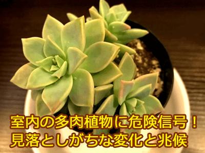 多肉植物、姫朧月
