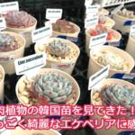 多肉植物の韓国苗を見に行ってきた!細川洋蘭農園さんで教えてもらった衝撃事実。