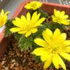福寿草と雪割草が満開!ベランダで日当たりを確保するための対策と方法。