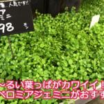 まるい葉っぱが鉢からあふれる!ペペロミアジェミニの植え替えや増やし方のコツ