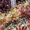 多肉植物が順調に増えそう!センペルビウムからランナーがピョンピョンとび出した。
