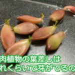 多肉植物の葉挿しはどれくらいの期間で芽や根が出るのか画像で解説。