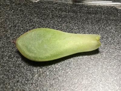 桃太郎の葉挿し