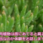 多肉植物は雨ざらしだと育たない?枯れたり、腐ったりするって本当なのか答えます。