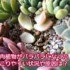 多肉植物がバラバラになる!謎の現象が起こりやすい時期や状況と原因は何?