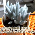 真っ白な多肉植物「銀月」を購入!育て方が難しいみたいなので調べてみた。