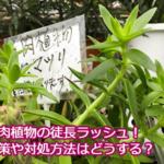 多肉植物の徒長ラッシュ!茎がぐんぐん伸びてしまったときはどうすればよい?