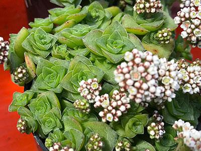 多肉植物、雪の妖精