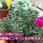 猛暑にも負けない!多肉植物ピンキーの花から正体を調べてみたら結果が意外すぎた