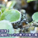 寒波到来!多肉植物とっさの寒さ対策と霜対策が意外と効果的