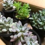 多肉植物をおすそ分けしてみた!増えすぎた苗を鉢ごと無料プレゼントしたら大反響!