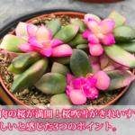 新潟でも多肉植物の桜が満開!桜吹雪が綺麗すぎて怪しいと感じた3つのこと。