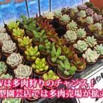 GWは多肉狩りのチャンス!新潟市の大型園芸店では多肉売場がめちゃくちゃ拡大中
