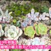 多肉植物の植え替えと仕立て直しの方法【2019年秋版】