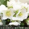 クリスマスローズの育て方。花が咲かないときの対処方法と暖冬の影響【2020年版】