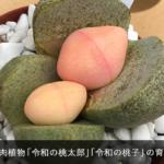 桃みたいな多肉植物「令和の桃太郎」「令和の桃子」の育て方と失敗談