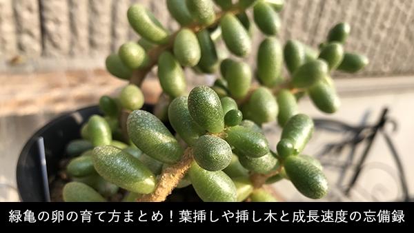緑亀の卵の育て方まとめ!葉挿しや挿し木と成長速度の忘備録