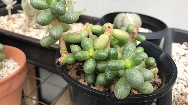 緑亀の卵、脇芽がたくさん出た