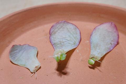 高砂の翁の葉挿し