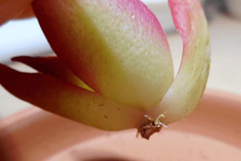多肉植物カット苗