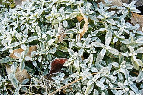 """多肉植物の霜対策"""""""