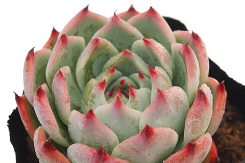多肉植物エケベリア、モモタロウ