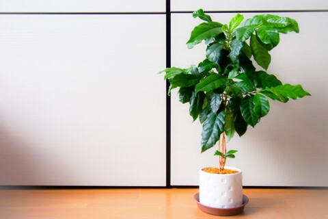 観葉植物のコーヒーの木に花が咲きません。原因や対策はありますか。