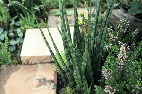 癒し効果が高い観葉植物サンセベリアの育て方。棒状・筒状の種類もおすすめです。