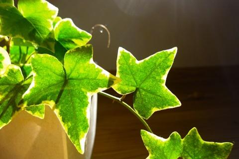 アイビー、ヘデラの特徴と失敗しない育て方。初心者にもおすすめの強い観葉植物