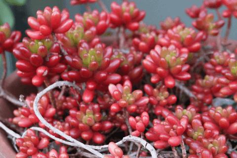 多肉植物の紅葉