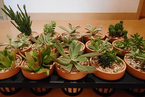 多肉植物の植え替え