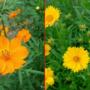 黄色いコスモス「キバナコスモス」が見頃!オオキンケイギクとの違いと見分け方。